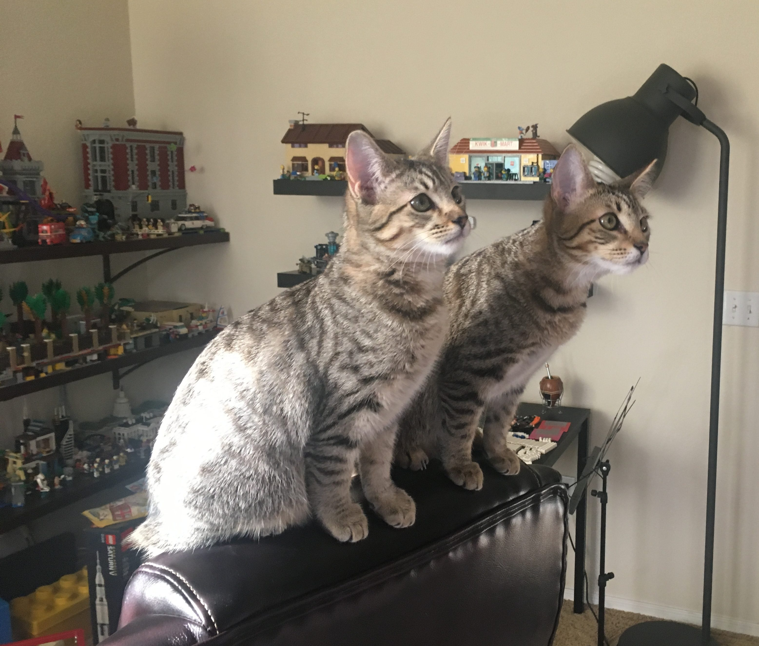 The Kittens at 4 Months – HiJenx